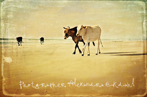 photographer alexandra ekdahl travel India goa cow cows beach